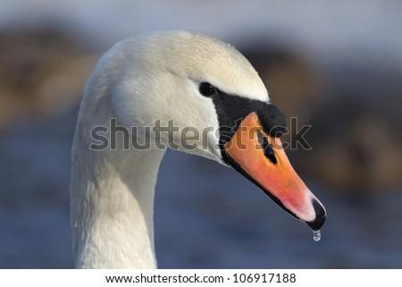 Mute swan portrait Cygnus olor - stock photo