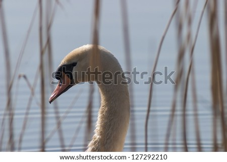 Mute swan potrait in the reeds - stock photo