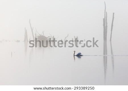 Mute swan swimming in the fog - stock photo