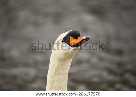 Mute Swan taken in Blackrock park in Dublin, Ireland - stock photo