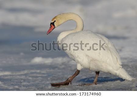Mute Swan walking in the natural winter environment.  - stock photo