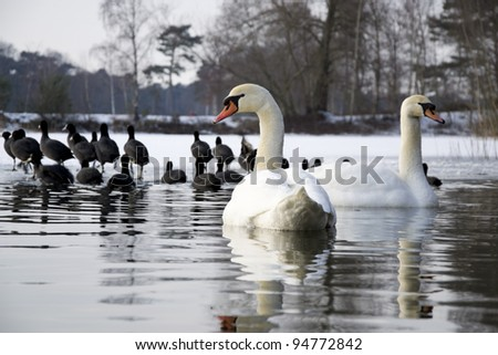 mute swans and coots in ice water at nature reserve - stock photo