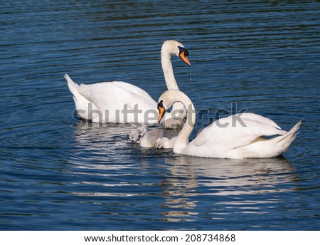 Mute swans and young family - stock photo