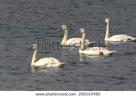 Mute swans in a lake - stock photo