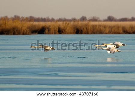 Mute Swans in flight over ice