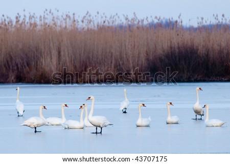 Mute Swans on ice - stock photo