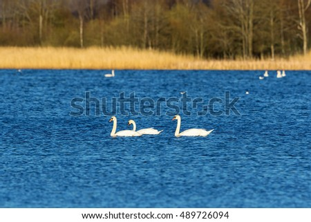 Mute swans swimming in the lake at the forest