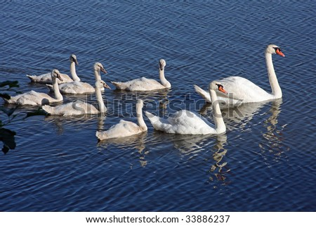 Mute Swans With Cygnets swimmning in morning sun