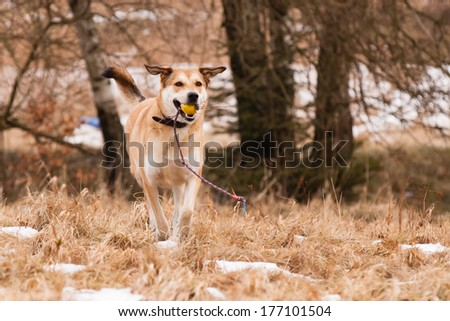Mutt of Labrador and German Shepherd with his toy - stock photo