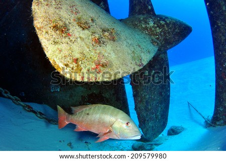 Mutton Snapper by the prop, USS Kittiwake, Grand Cayman - stock photo