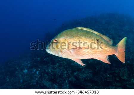 Mutton Snapper on a Caribbean reef