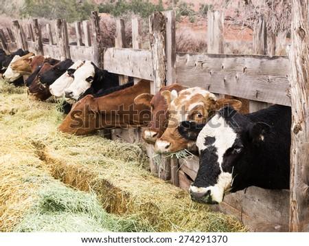 Muzzle cow chewing hay. America, Utah - stock photo