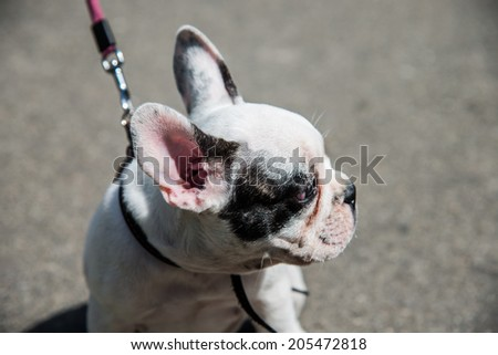Muzzle dog breed French bulldog looking to frame