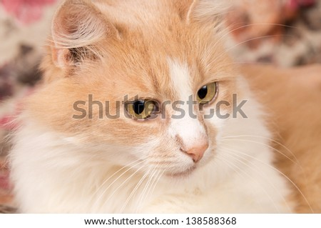 muzzle ginger cat
