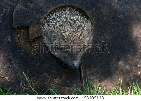 muzzle hedgehog climbs from tree - stock photo
