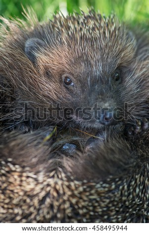muzzle hedgehog close up - stock photo