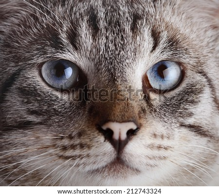 Muzzle of a blue-eyed cat. Portrait of a striped blue-eyed cat. Striped cat. Striped not purebred kitten. Small predator. Small cat. - stock photo