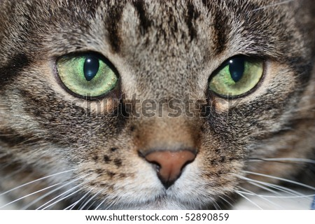 Muzzle of a cat with green eyes