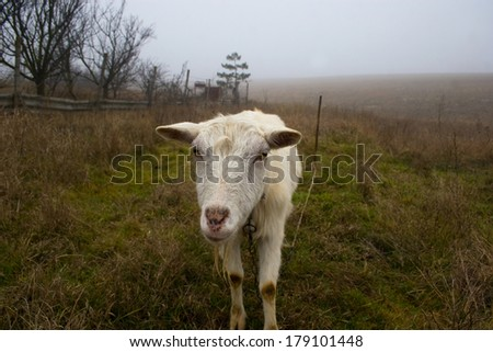 muzzle of a goat on the pasture in the dark