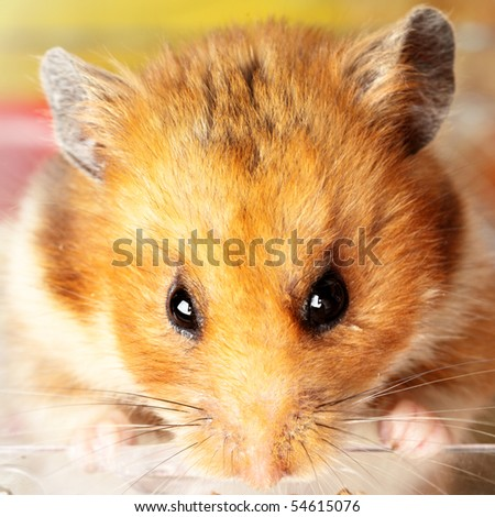 Muzzle of red hamster close up