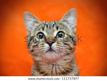 Muzzle of tabby cat on orange background