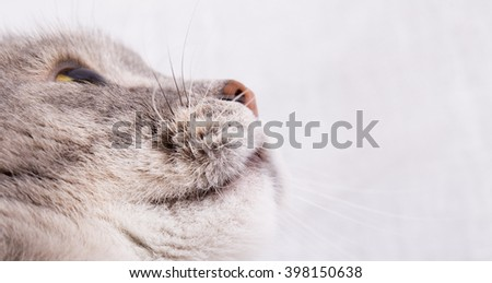 Muzzle of the gray cat looking up. Gray background, close up, small depth of sharpness, copy space on the right - stock photo
