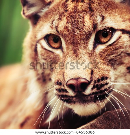Muzzle of wild lynx close-up - stock photo