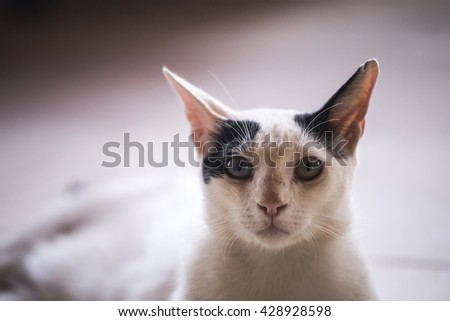 muzzle thin cat. The muzzle is black and white cat with different eyes close with charisma - stock photo