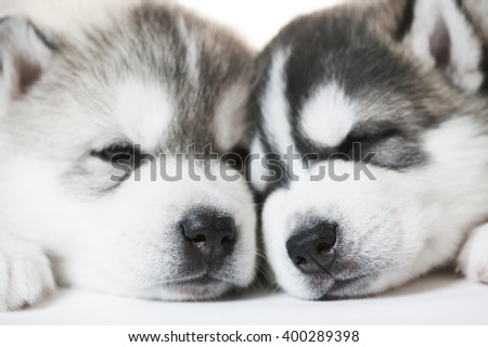 muzzles of sleeping Siberian husky puppy dogs - stock photo