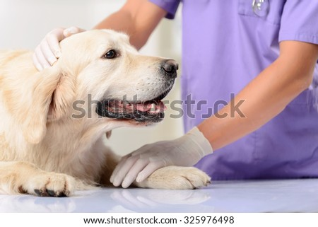 My friend. Close up of nice dog lying on the table while professional vet holding and examining it - stock photo