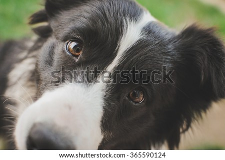 My  lovely border collie