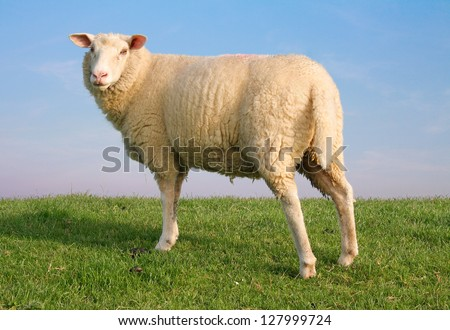 My sheep Gypsy standing on seawall - stock photo
