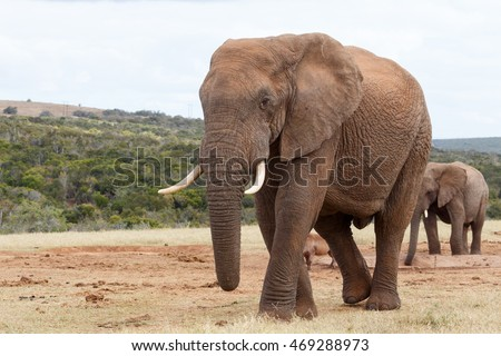 My Side View - The African bush elephant is the larger of the two species of African elephant. Both it and the African forest elephant have in the past been classified as a single species.