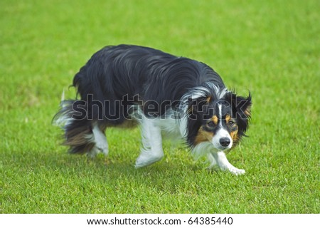 My working Sheepdog on the farm - stock photo