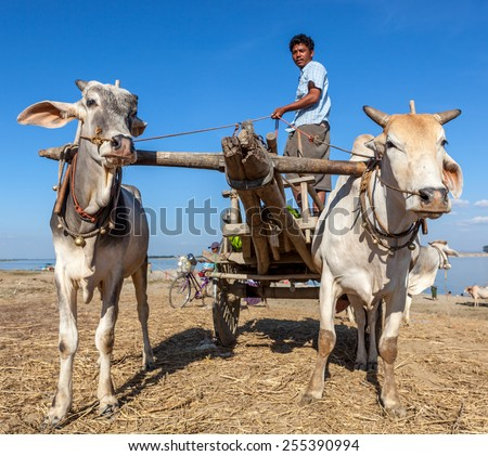 MYANMAR - Dec 7, 2014: Two white water buffalo pulling a cart and driver along the side of the Irrawaddy river in Myanmar
