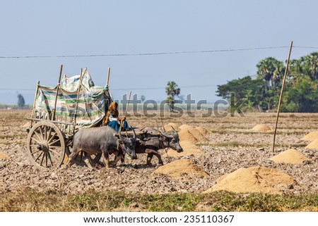 MYANMAR - JANUARY 6, 2014: Unidentified Burmese peasant working in the field with ox cart.  Agriculture in Burma is main industry, accounting for 60% of the GDP  employing some 65% of the labor force