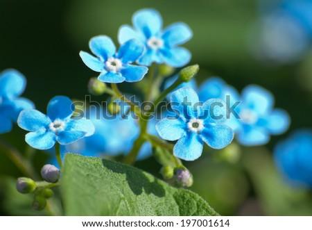 Myosotis plant with flowers - stock photo