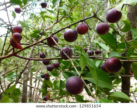 Myrciaria dubia, commonly known as Camu camu, Camucamu, Cacari, is a small (approx. 3–5 m tall) bushy riverside tree from the Amazon rainforest vegetation which bears a red/purple cherry-like fruit. - stock photo