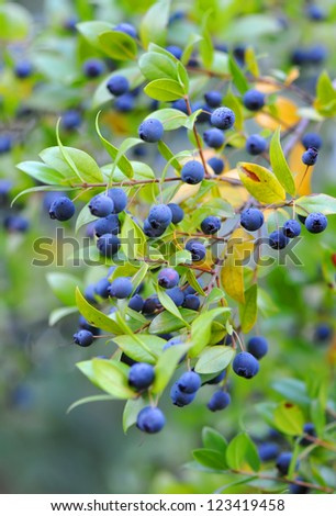 Myrtle berries on branches - stock photo