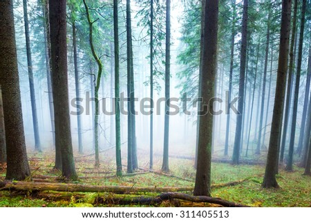 Mysterious fog in the light green forest with pine trees
