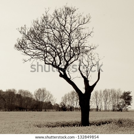 Mysterious lonely and vulnerable tree in rapeseed field with a row of leafless trees in background. Taken during Spring in the Cotswolds, rural England.