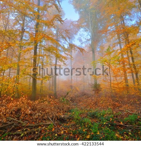 Mysterious morning fog in a beautiful beech tree forest. Autumn trees with yellow and orange foliage. Heidelberg, Germany - stock photo