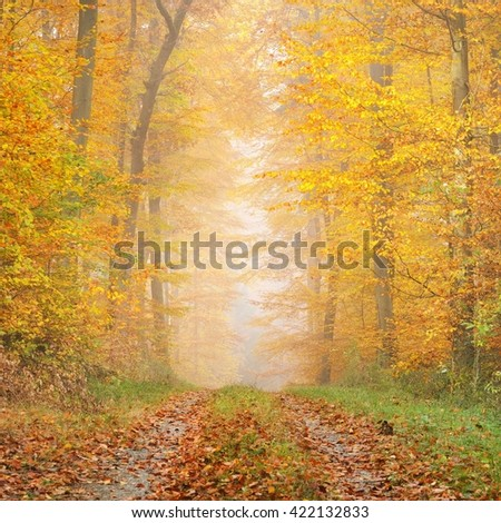 Mysterious morning fog in a beautiful beech tree forest. Forest road with autumn trees with yellow and orange foliage. Heidelberg, Germany