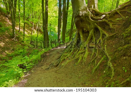 Mysterious way in green deciduous forest scenery. Beech roots. Trees in The Fox Ravine (Lisi Jar) nature reserve, Poland.