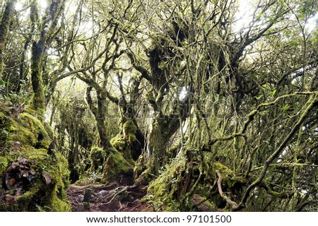 Mystical and beautiful famous green Mossy Forest in Cameron Highland. - stock photo