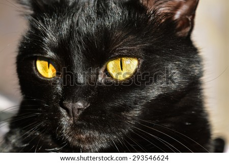 Mystical black cat with big yellow eyes and a shiny coat - stock photo