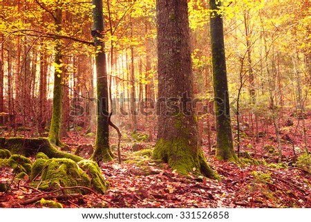 Mystical yellow red sunlight in colorful autumn season forest. Magical autumnal forest leaves background. - stock photo