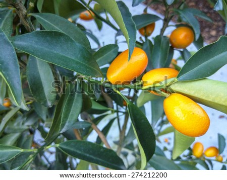 Nagami Kumquat (Fortunella margarita) slow growing evergreen shrubs or small trees that occur mainly in moist areas. They produce fragrant flowers and edible fruit. - stock photo