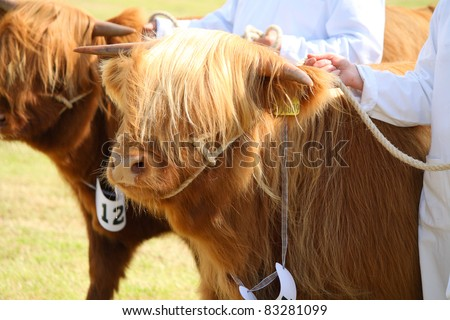 NAIRN, SCOTLAND - 30 JULY: An unidentified farmer displays Highland Cattle at the annual Nairnshire Farmers Society show on 30 July, 2011 in Nairn, Scotland. - stock photo