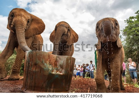 Nairobi, Kenya - August 10th 2015 - Elephants drinking water with some tourists in the background in Sheldrick Trust Orphans Project , Nairobi, Kenya, Africa. - stock photo